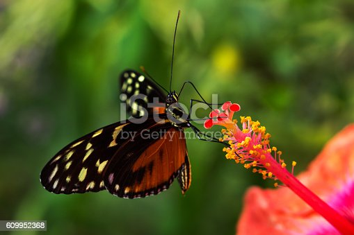 Tropical butterfly dido longwing on the hibiscus flower.