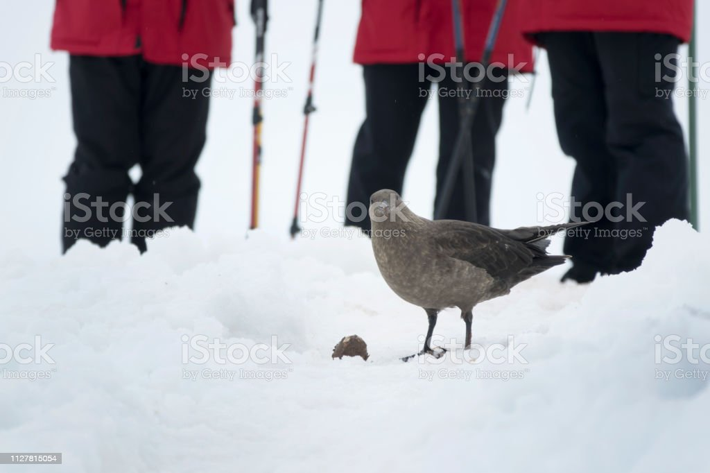 Visitors watch skua eat muddy penguin egg Neko Harbor visitors Antarctic Peninsula Antarctica stock photo
