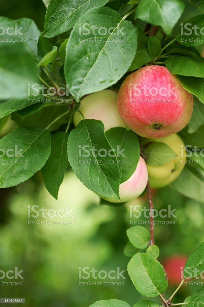 Vista Bella apples. royalty-free stock photo