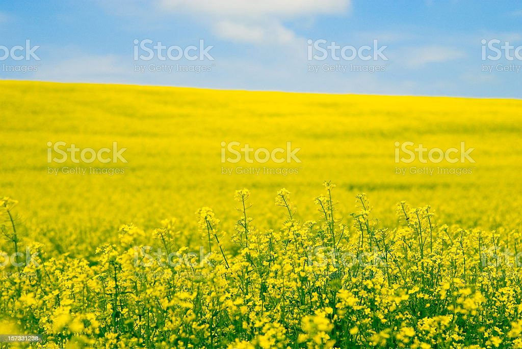 Vista of a field of yellow oilseed rape flowers stock photo