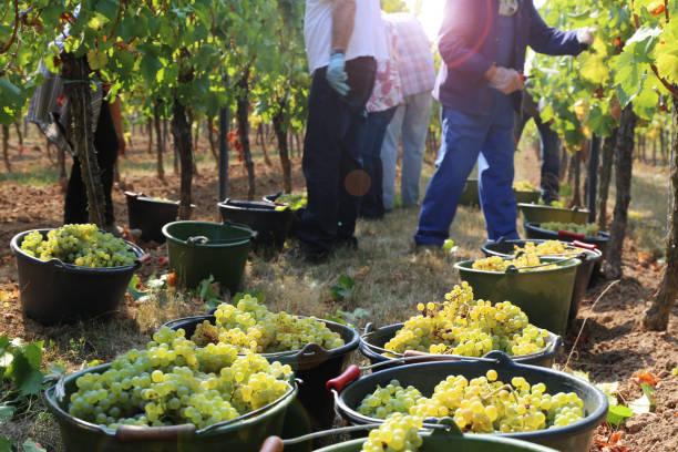 Weinbauern, die Ernte der Trauben, die in Trauben Hof – Foto