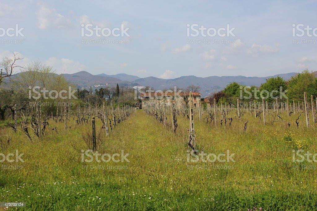 Vitis (grapevines) stock photo