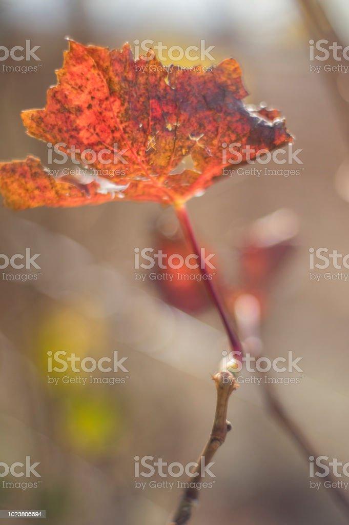Vitis vinifera - foto de stock