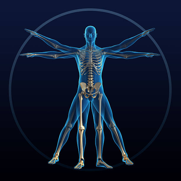 Vitruvian man  spine body part stock pictures, royalty-free photos & images