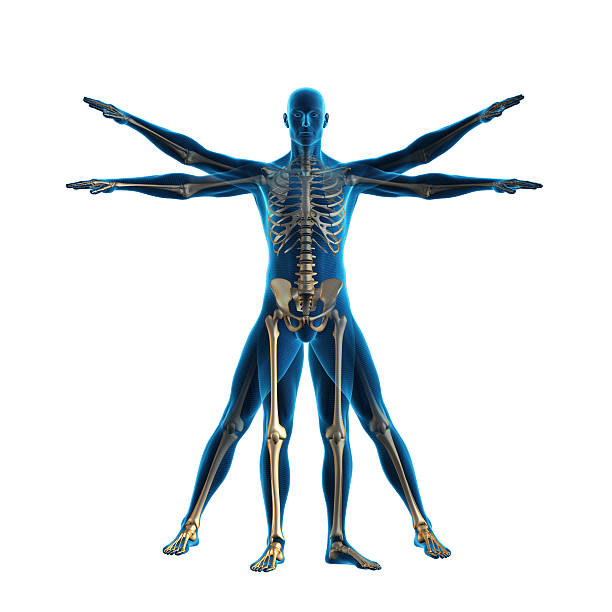 Vitruvian man Vitruvian man and skeleton physiology stock pictures, royalty-free photos & images