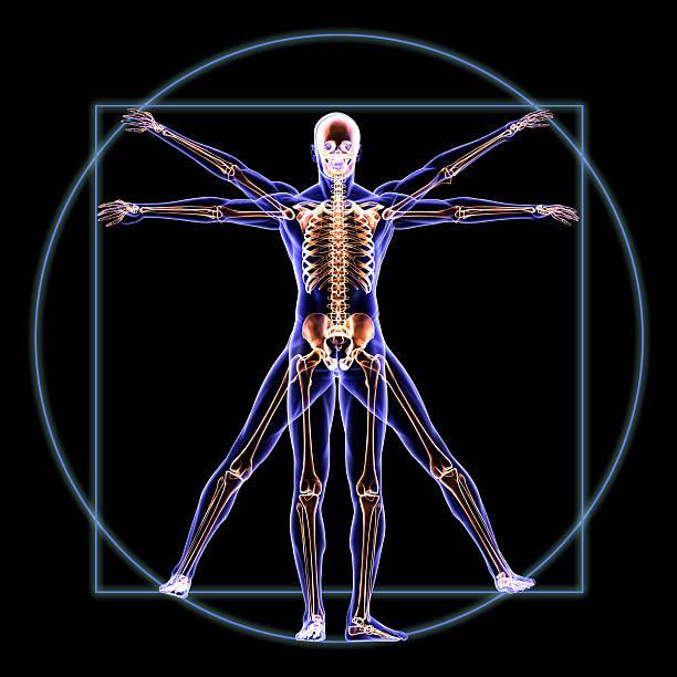 витрувианский человек с анатомия скелета - golden ratio стоковые фото и изображения