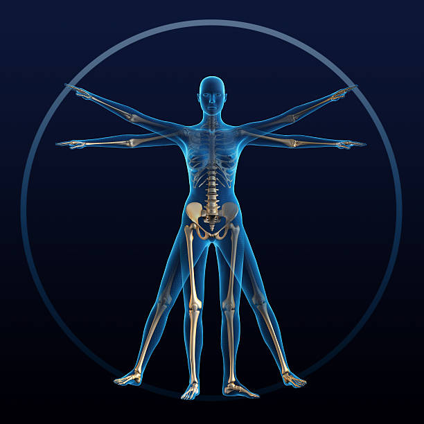 Vitruvian woman Vitruvian woman and skeleton physiology stock pictures, royalty-free photos & images