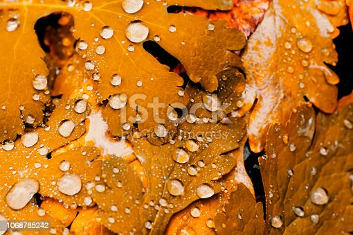 istock Vivid autumn yellow leaves with water drops close up. Golden fallen leaves in rain. Fall abstract textured background with copy space. Droplets on grass in gold tones. 1068785242