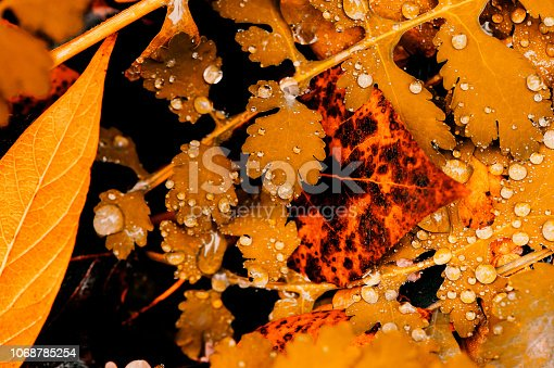 istock Vivid autumn yellow leaves with water drops close up. Golden fallen leaves in rain. Fall abstract textured background with copy space. Droplets on grass in gold tones. 1068785254