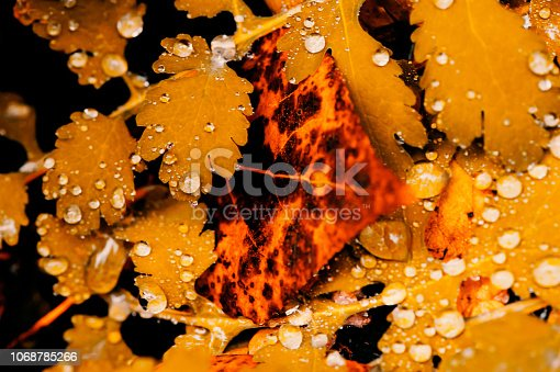 istock Vivid autumn yellow leaves with water drops close up. Golden fallen leaves in rain. Fall abstract textured background with copy space. Droplets on grass in gold tones. 1068785266
