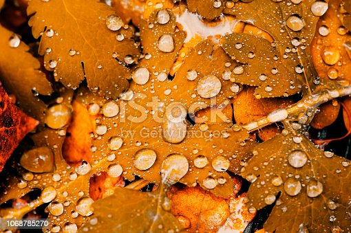 istock Vivid autumn yellow leaves with water drops close up. Golden fallen leaves in rain. Fall abstract textured background with copy space. Droplets on grass in gold tones. 1068785270