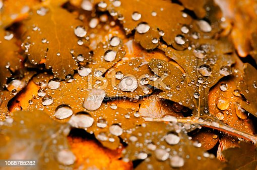 istock Vivid autumn yellow leaves with water drops close up. Golden fallen leaves in rain. Fall abstract textured background with copy space. Droplets on grass in gold tones. 1068785282