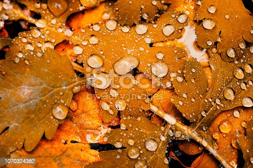 istock Vivid autumn yellow leaves with water drops close up. Golden fallen leaves in rain. Fall abstract textured background with copy space. Droplets on grass in gold tones. 1070324382