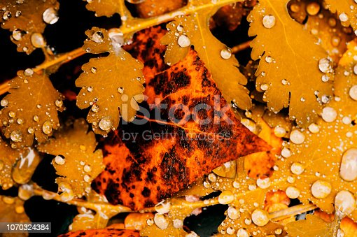 istock Vivid autumn yellow leaves with water drops close up. Golden fallen leaves in rain. Fall abstract textured background with copy space. Droplets on grass in gold tones. 1070324384