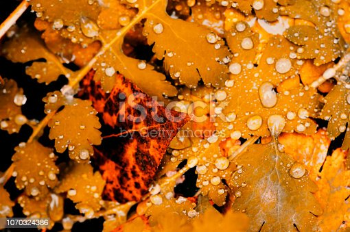 istock Vivid autumn yellow leaves with water drops close up. Golden fallen leaves in rain. Fall abstract textured background with copy space. Droplets on grass in gold tones. 1070324386