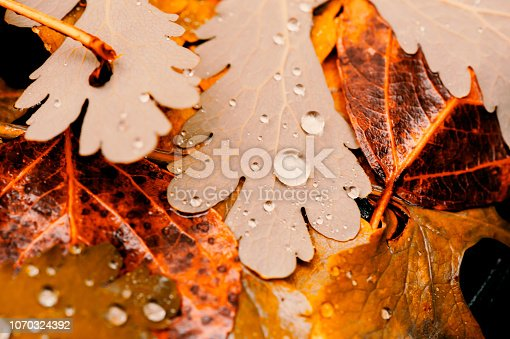 istock Vivid autumn yellow leaves with water drops close up. Golden fallen leaves in rain. Fall abstract textured background with copy space. Droplets on grass in gold tones. 1070324392