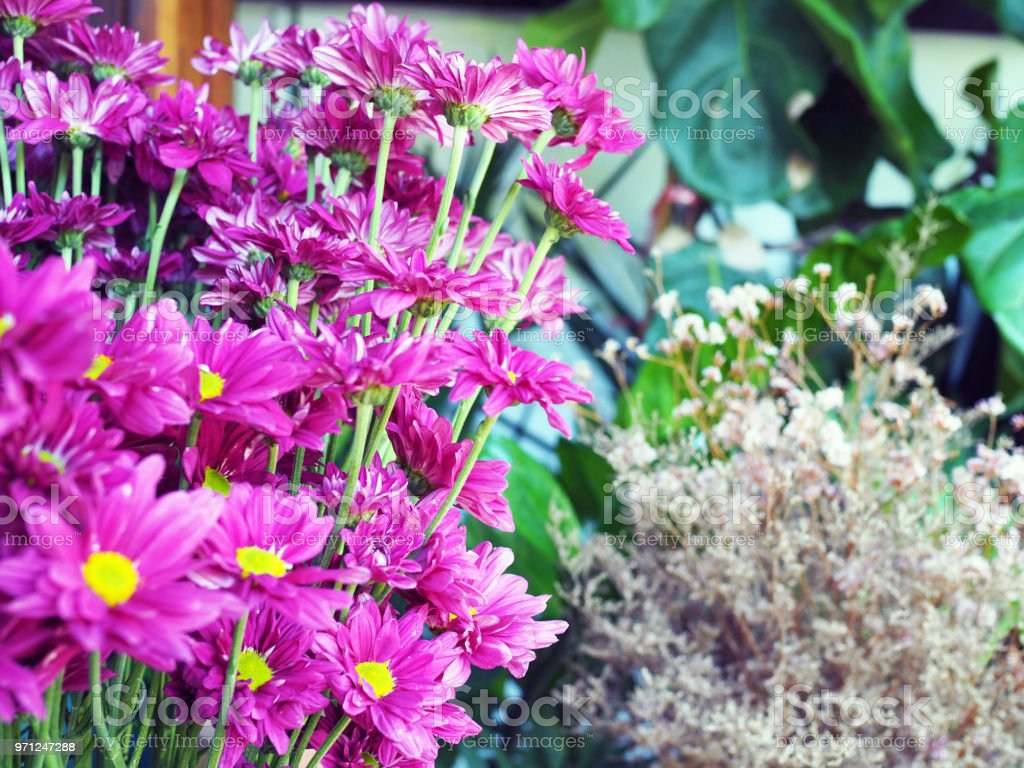 A vivid bunch of pink daisy pom in the vase. Colorful and beautiful natural background. stock photo