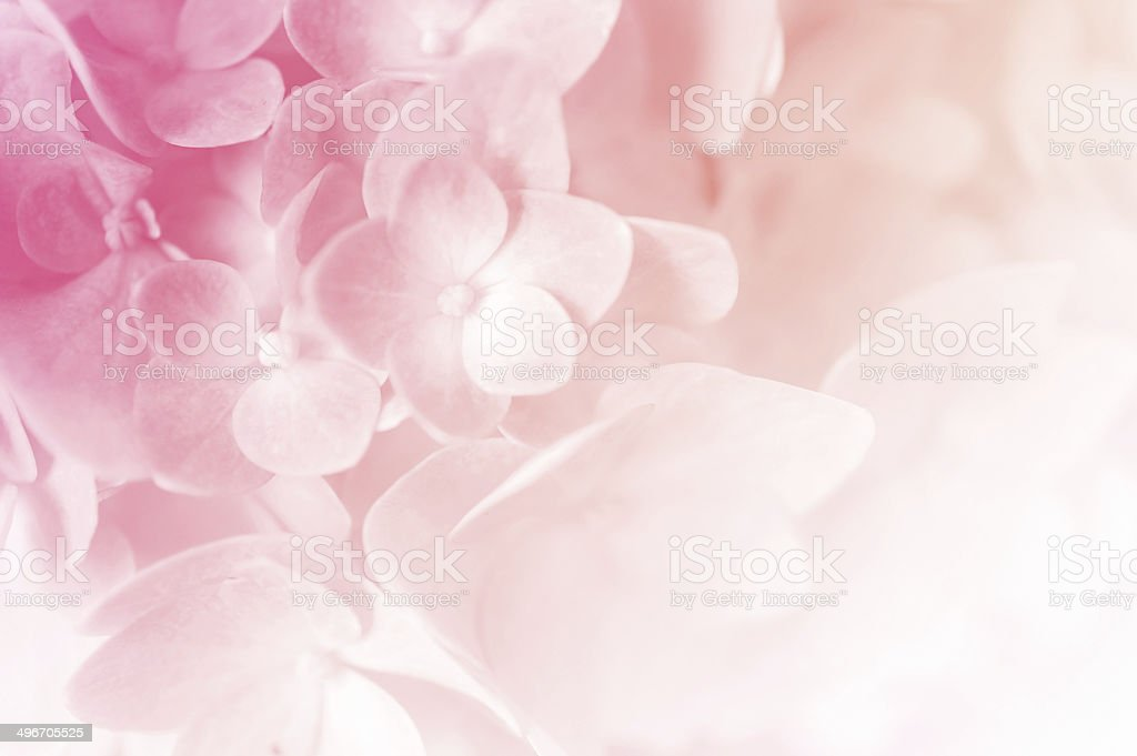 vivid color hydrangea in blur style stock photo