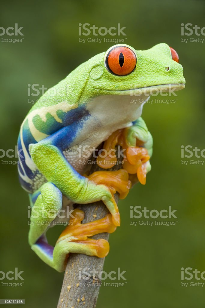 Vivid Color - Red-eyed Tree Frog royalty-free stock photo