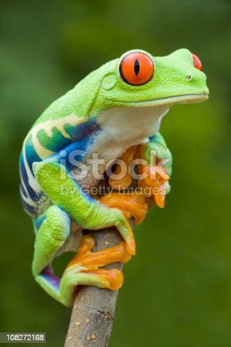 Vivid Color - Red-eyed Tree Frog [url=http://www.istockphoto.com/file_search.php?action=file&lightboxID=6833833] [img]http://www.kostich.com/frogs.jpg[/img][/url]  [url=http://www.istockphoto.com/file_search.php?action=file&lightboxID=10814481] [img]http://www.kostich.com/rainforest_banner.jpg[/img][/url]