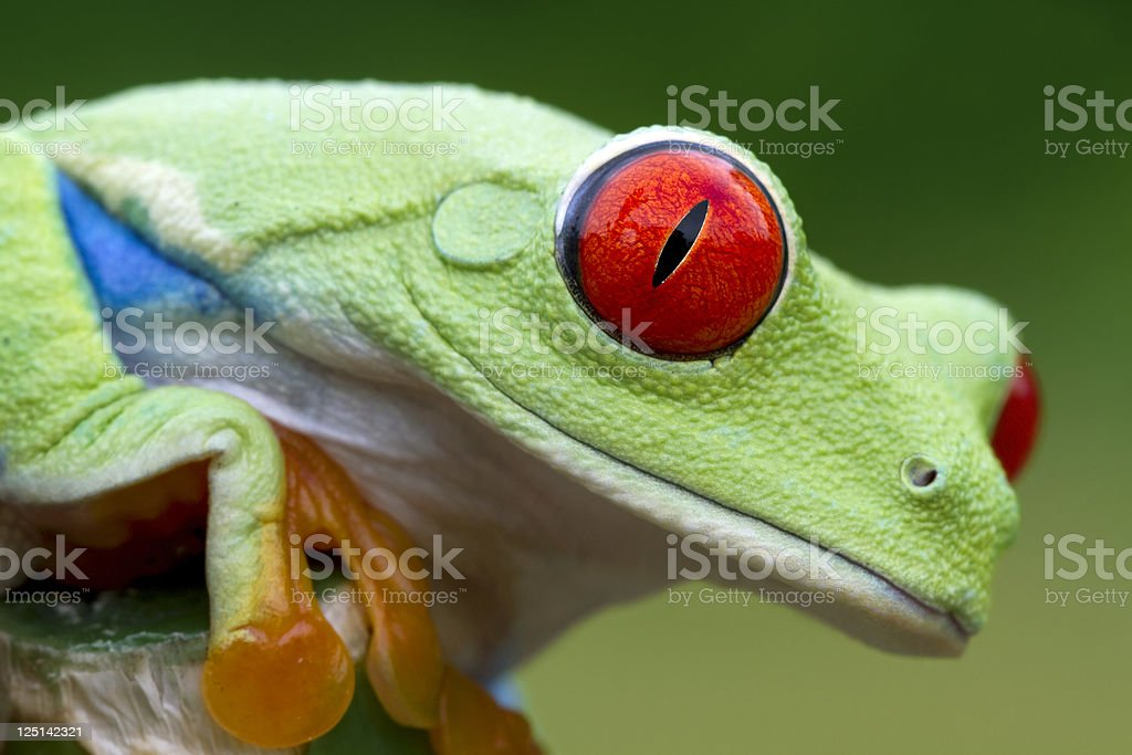 Vivid Color - Red-eyed Tree Frog stock photo