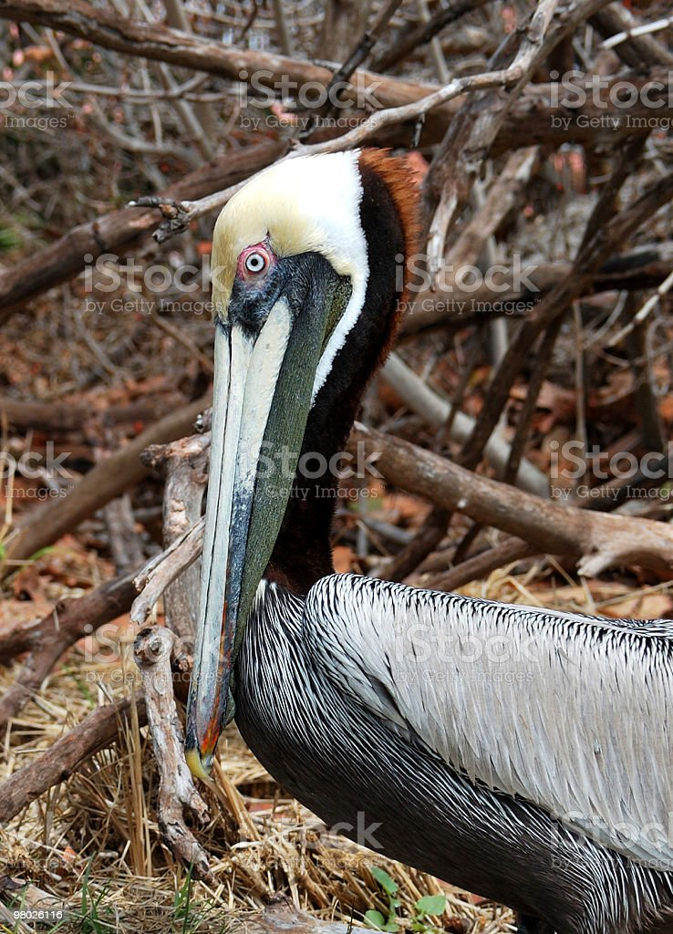 Vivid Colors on Adult Brown Pelican (Pelecanus occidentalis) royalty-free stock photo