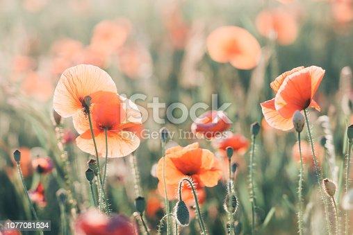 997750962 istock photo Vivid dreamy poppy field during sunset 1077081534