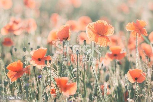 997750962 istock photo Vivid dreamy poppy field during sunset 1077081570