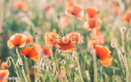 997750962 istock photo Vivid dreamy poppy field during sunset 1077081592
