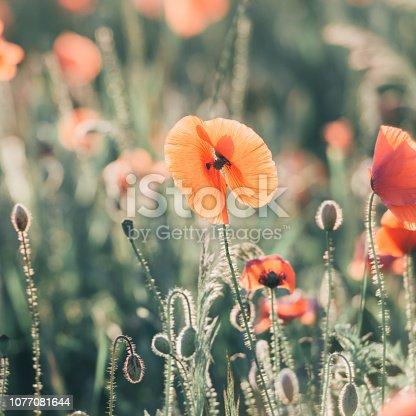 997750962 istock photo Vivid dreamy poppy field during sunset 1077081644