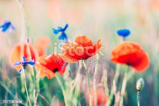 997750962 istock photo Vivid dreamy poppy field during sunset 1077081656