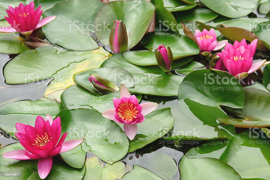 Vivid Lily Pond royalty-free stock photo