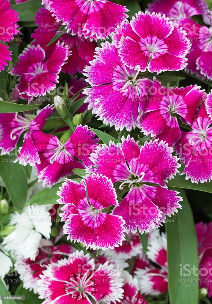 Vivid pink  Dianthus flower stock photo