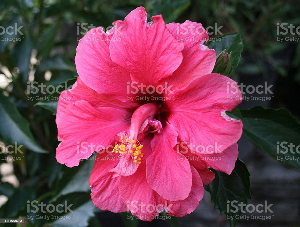 Vivid Pink Hibiscus Flower stock photo