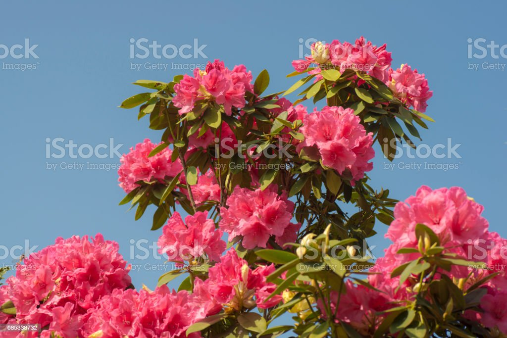 Vivid Pink Rhododendron Flower And Blue Sky foto de stock royalty-free