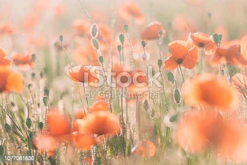 997750962 istock photo Vivid poppy field during sunset 1077081630