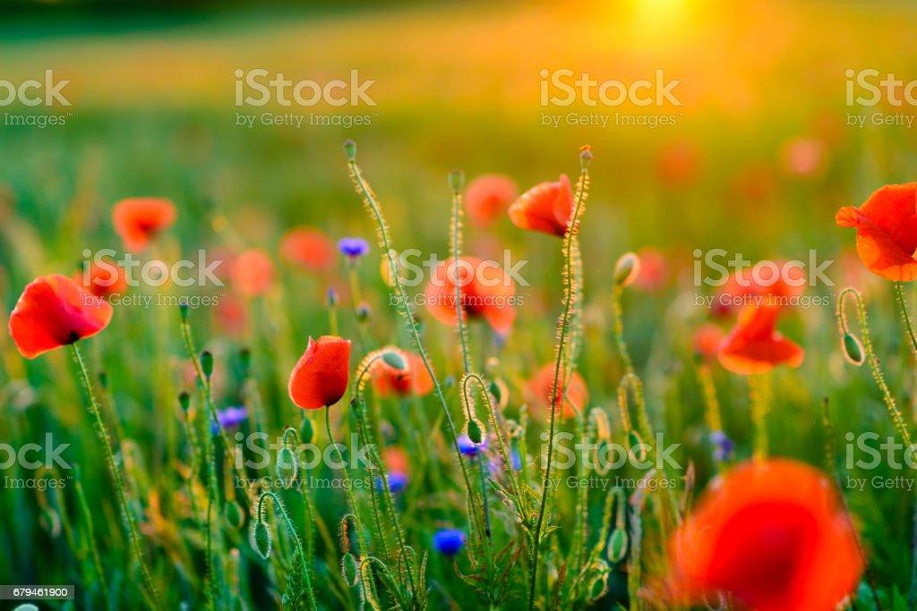 Vivid poppy field during sunset royalty-free stock photo