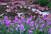 CLOSE UP, DOF: Vivid purple flowers grow by the river flowing through the beautiful red gorge. Scenic shot of the blooming flowers and the refreshing mountain stream flowing over the dark red stones.