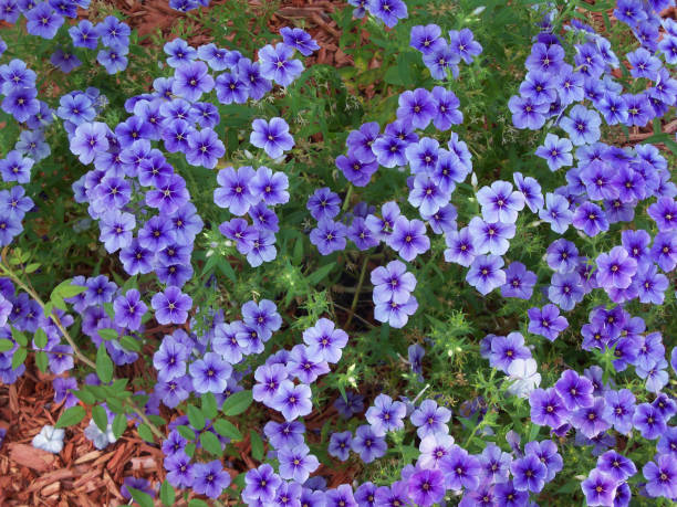 Vivid Purple Phlox flowers stock photo