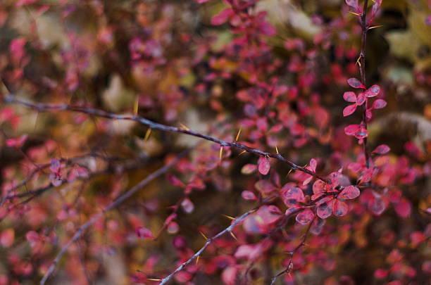 vivid red and pink leaves of autumn berberry bush - perückenstrauch stock-fotos und bilder