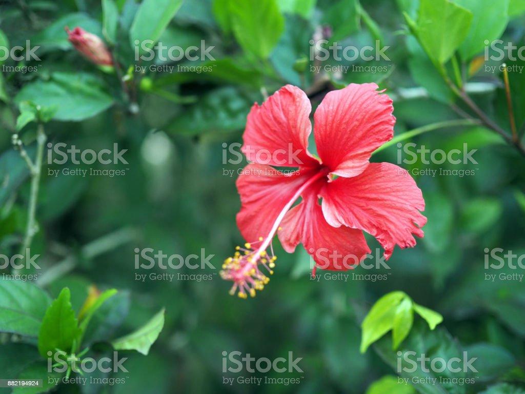 Lebhafte Rote Hibiskus Blüht Der Garten Einen Schönen Guten