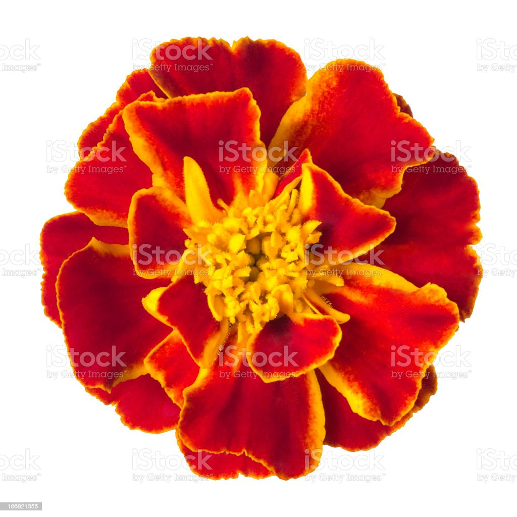 Vivid red marigold isolated on white stock photo
