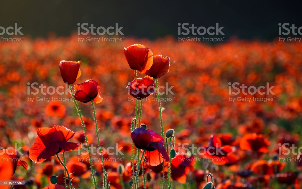 vivid red poppy field at sunset stock photo