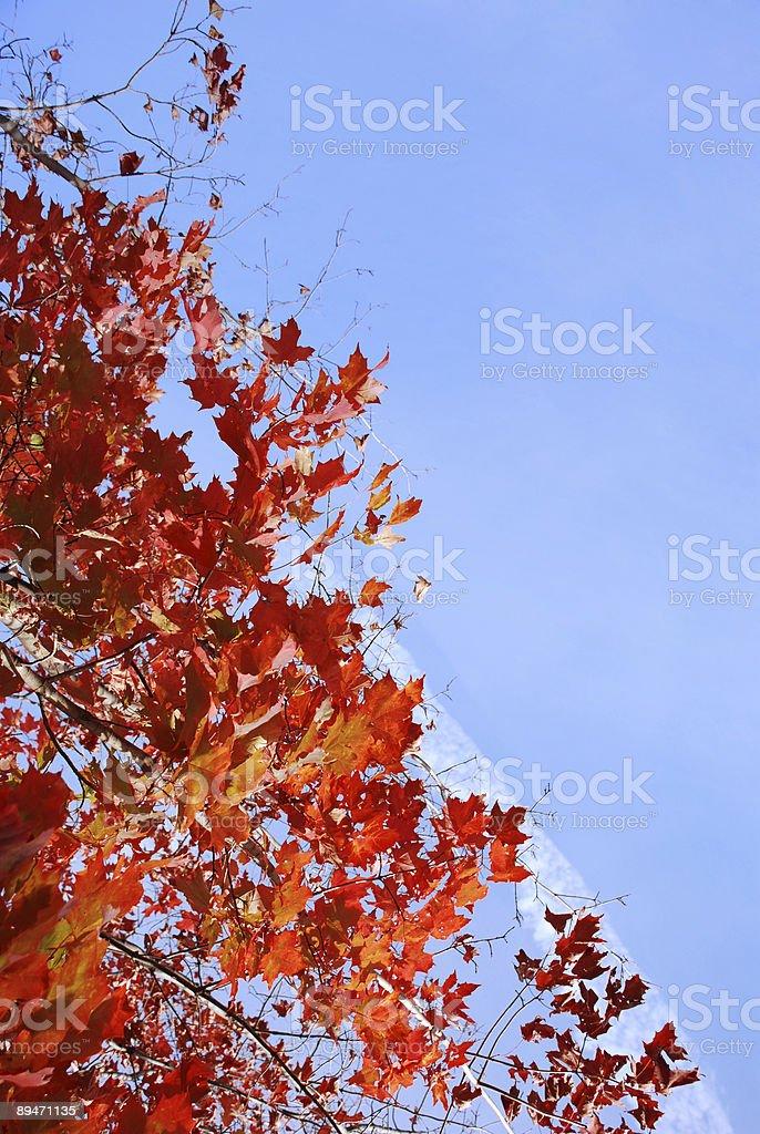 Vivid roten von Herbst Ahorn gegen einen blauen Himmel. Lizenzfreies stock-foto