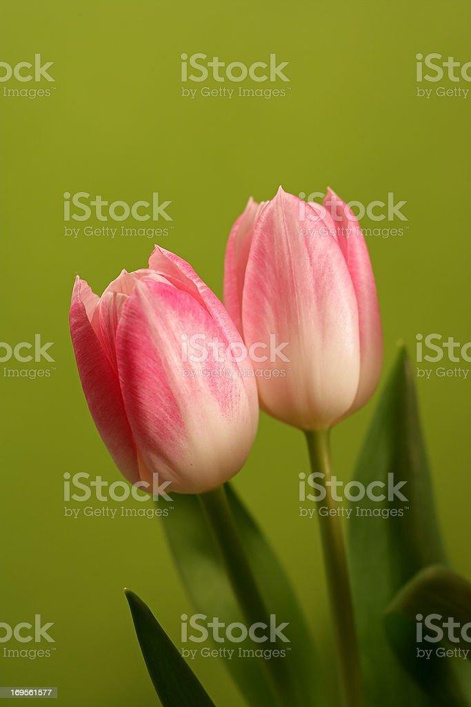 Bunte Tulpe Blüten – Foto