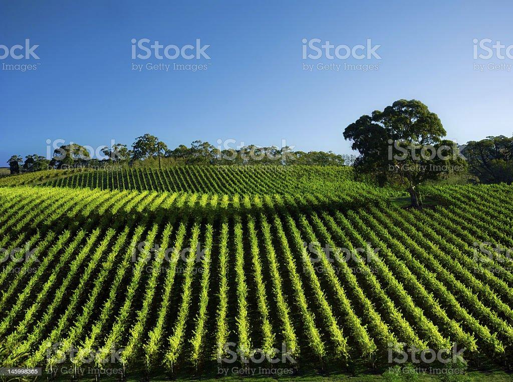 Vivid Vineyard stock photo