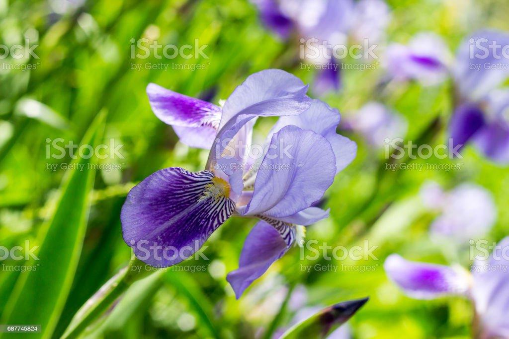 Vivid Violet Iris  flower background stock photo