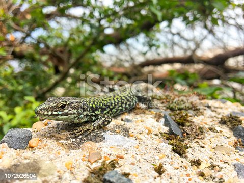 Viviparous lizard sunbathing on the rocks during a beautiful summer day in Brittany, France.