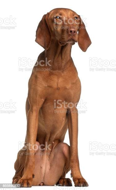 Vizsla 2 years old sitting in front of white background picture id855895832?b=1&k=6&m=855895832&s=612x612&h=f5c9yxy8 qxjkmdml80rrhbvdfezlokpxi7 hs8pklq=