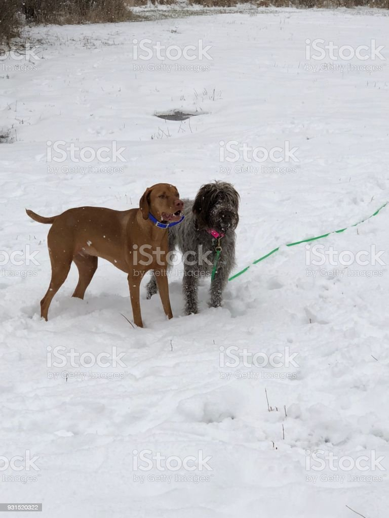 Vizsla and wirehaired pointing griffon stock photo